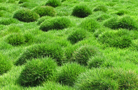 Decorative green grass of Zoysia tenuifolia in the park Фото со стока