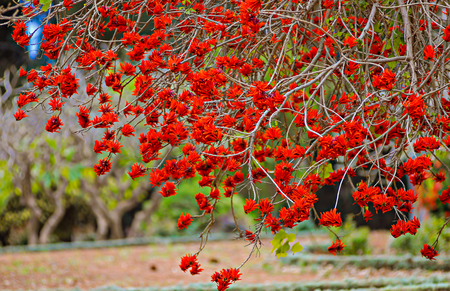 Colorful coral tree blossoms with bright red flowers in the park