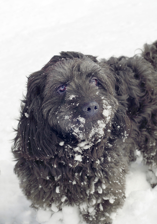 Dog covered with snow on winter day, close up Stockfoto