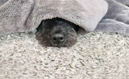 Cute dog relaxing under the warm blanket Фото со стока