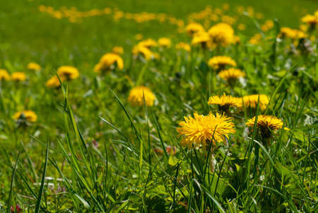 Closeup of yellow dandelion flowers in the field