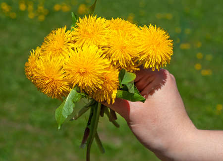 Closeup of hand holding yellow dandelion flowers Фото со стока