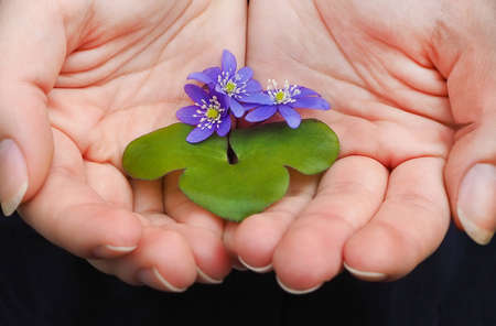 Woman hands with wild violets, early spring flowers