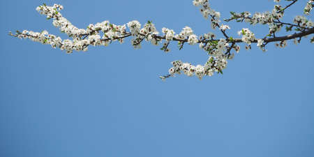 Spring blossom branch on sky blue background Фото со стока