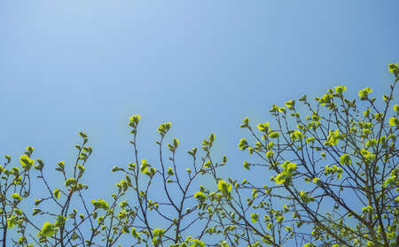 Spring tree buds against a blue sky background