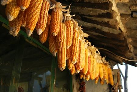 planta de maiz: callos Foto de archivo