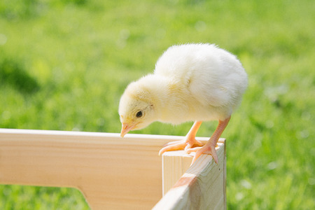 Little bird of turkey in womens hands, poultry in a wooden box. Turkey is a feathered bird on green grass.