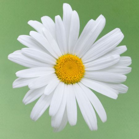 beautiful daisy flower on a green background photo