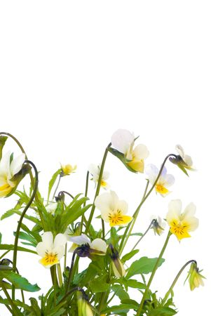 uncultivated: viola tricolor isolated on the white background