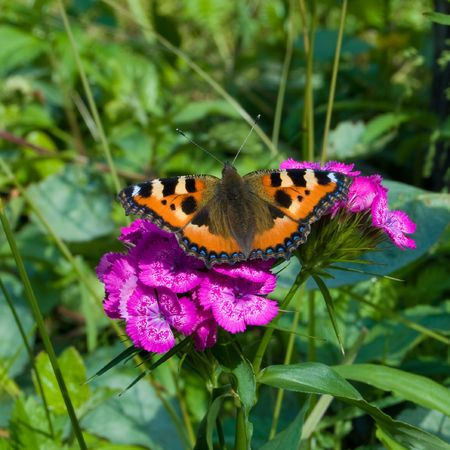 small tortoiseshel butterfly on flower, Aglais urticae photo