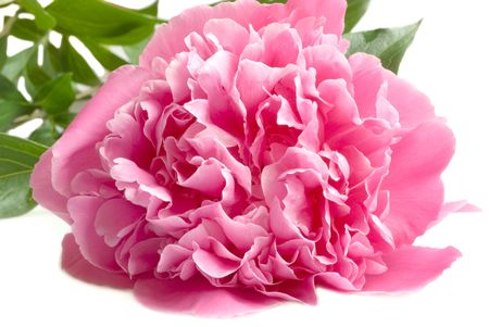 pink peony isolated on the white background photo
