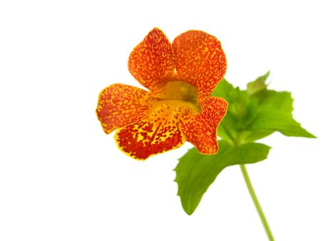 sepal: mimulus (monkey flower) isolated on white background
