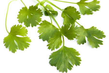 bunch of fresh cilantro isolated on white photo