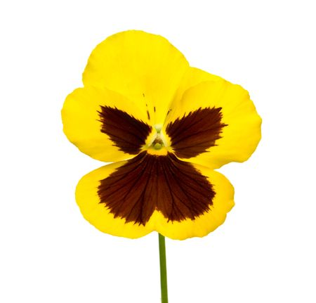 pansy flower isolated on white background Stock Photo - 5688066