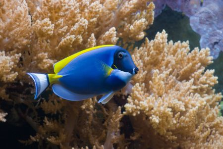 surgeonfish: Powder Blue Tang (Surgeonfish) Acanthurus leucosternon Stock Photo