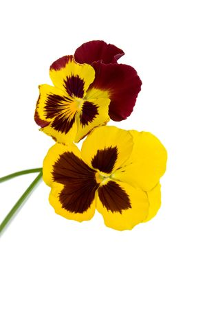 two pansy flower isolated on white background Stock Photo - 6175871
