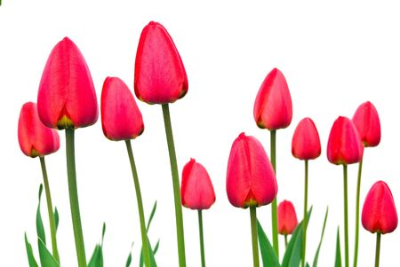 red tulips isolated on white background photo