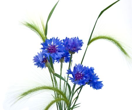 cornflowers and ears isolated on white background Stock Photo - 6471660