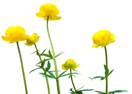 globeflower isolated on white background Stock Photo - 6669003