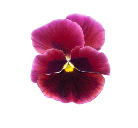 pansy flower isolated on white background Stock Photo - 8950820