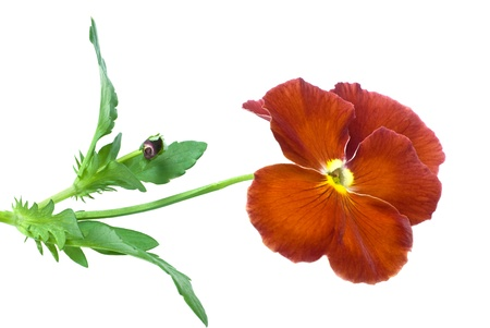 pansy flower isolated on white background Stock Photo - 8950822