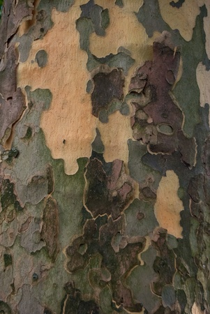 Bark of the Sycamore Tree Stock Photo - 12582870