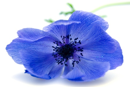 blue flower anemone isolated on white background photo