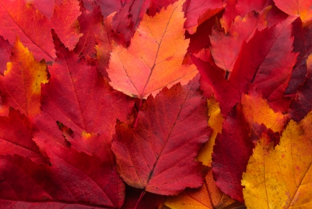 autumn leaves red  background photo