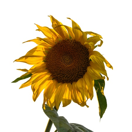helianthus annuus: sunflower isolated on white, Helianthus annuus