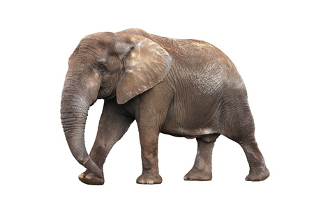 Adult walking elephant isolated on white background photo