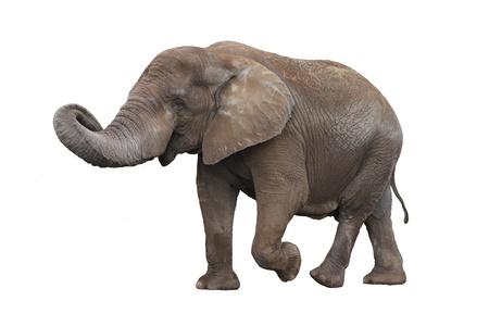 白い背景上に分離されて灰色の象の歩行