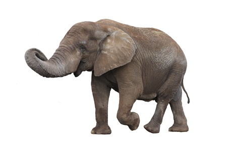 Walking gray elephant isolated on white background photo