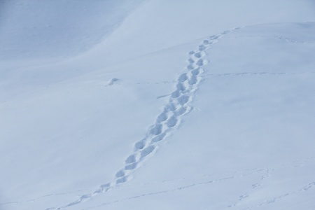 Fresh animal traces on snow in winter mountains photo