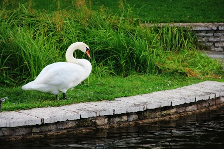 White swan standing on beautiful shore of pond photo