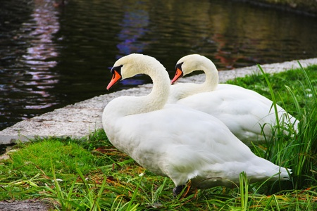 Two white swans standing on beautiful shore of pond photo