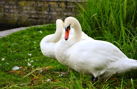 Two beautifu white swans standing on green grass photo