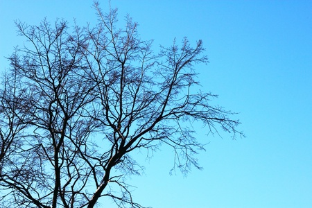 Naked tree on clear blue sky background photo