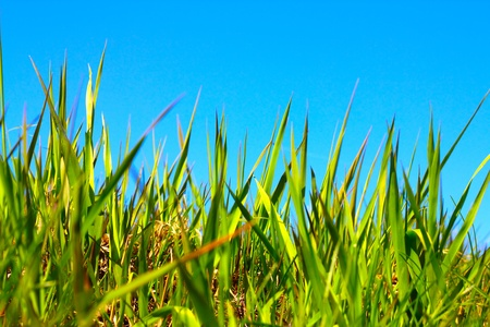Spring first grass under clear blue sky photo
