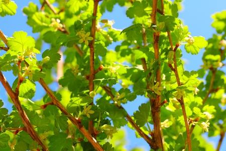 gooseberry bush: Blooming primavera cespuglio di uva spina su sfondo blu cielo