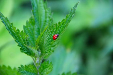 Ladybug on green leaf macro close up photo