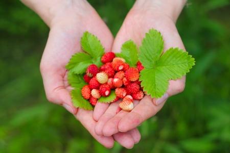 手で葉の赤いワイルドストロベリー クローズ アップ 写真素材