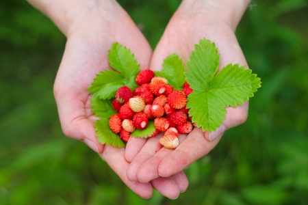 Wild red strawberry with leaves in hands close up Stock Photo