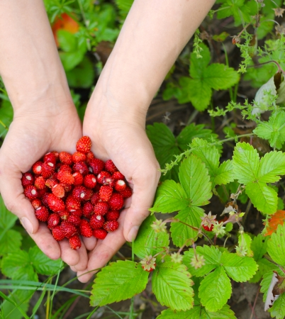 Wild red strawberry in hands with leaves and flowers close up photo
