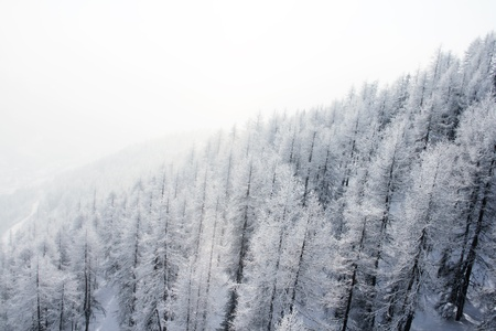 Mountain forest of fir trees covered with frost in winter photo