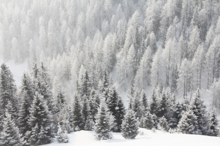 Mountain forest of fir trees covered with frost in winter