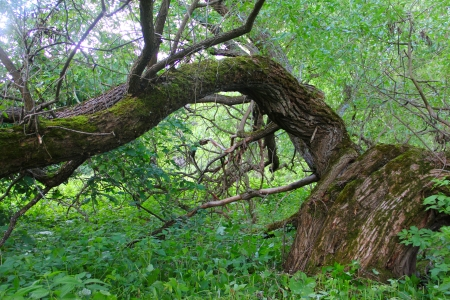 Very old beautiful willow in deep forest Stock Photo - 14436963