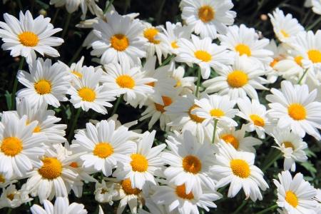 daisie: Estate sfondo Camomiles bella close up