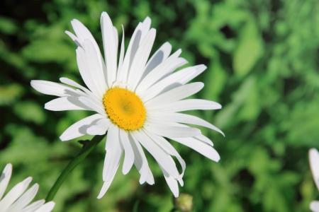 daisie: Sfondo estate Camomiles bella vicino Archivio Fotografico