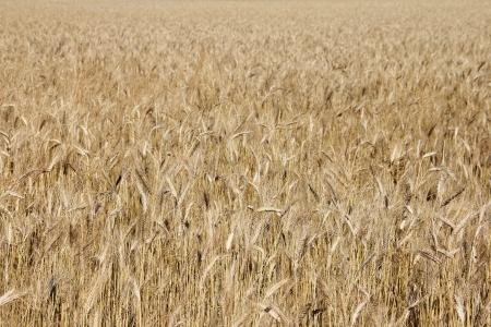 Ripe wheat field background photo