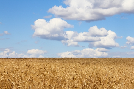 Golden wheat field under cloudy blue sky photo